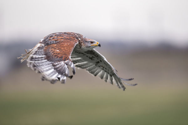 Ferruginous Hawk Buteo Regalis In Flight Above A Meadow 19849706