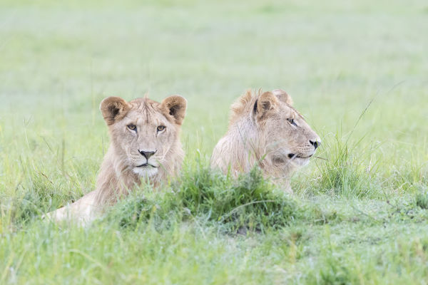 Two young male lions (Panthera leo) lying down together, Maasai Mara national reserve